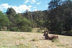 Wallaby, Glenbrook, Blue Mountains